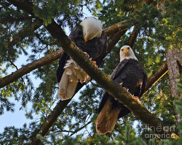 Nesting Bald Eagles Poster featuring the photograph Nesting Bald Eagles Perching by Jack Moskovita