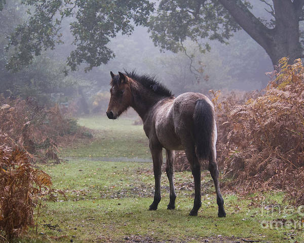 New Forest Pony Poster featuring the photograph New Forest Pony by Dave Pressland FLPA