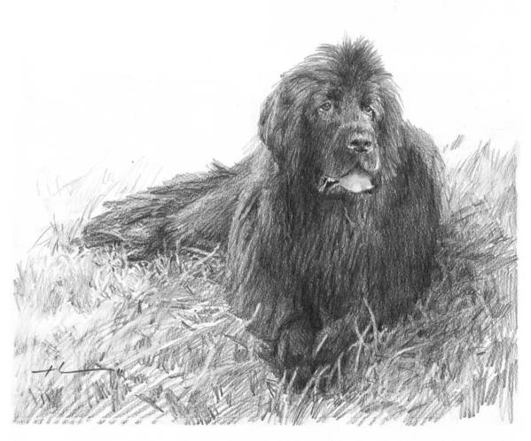 <a Href=http://miketheuer.com Target =_blank>www.miketheuer.com</a> Newfoundland Dog Pencil Portrait Poster featuring the drawing Newfoundland Dog Pencil Portrait by Mike Theuer