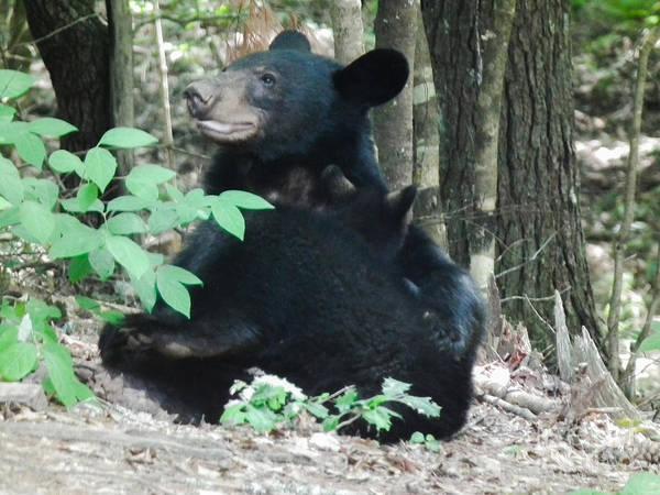 Bear Poster featuring the photograph Bear - Cubs - Mother Nursing by Jan Dappen