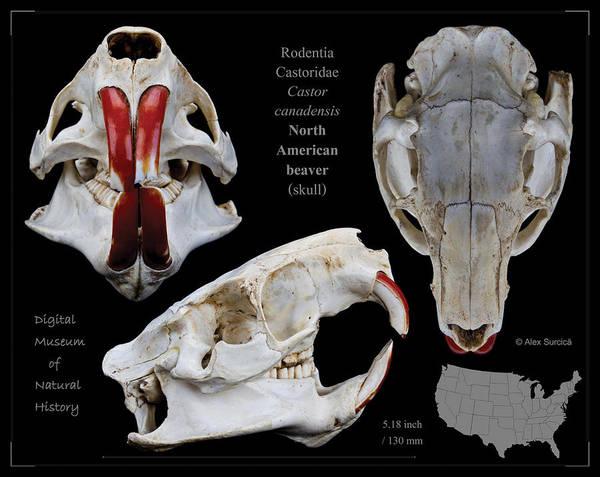 North American Beaver Skull Poster