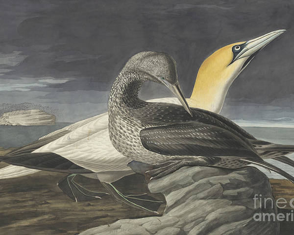 Pecking Poster featuring the drawing Northern Gannet by Celestial Images