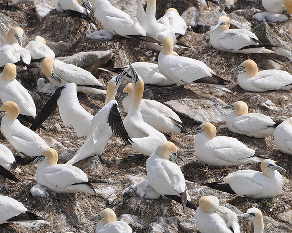 Northern Gannets Poster featuring the photograph Northern Gannets by Colleen English