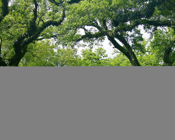 Tree Poster featuring the photograph Oak Alley Trees by Denise Mazzocco