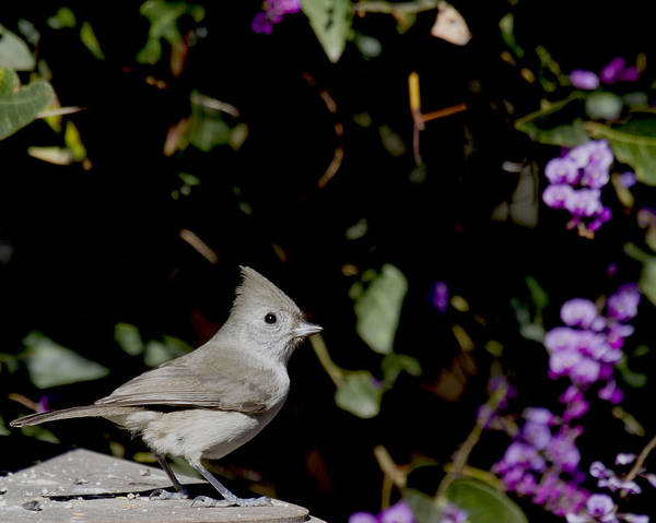 Birds Poster featuring the photograph Oak Titmouse by Michael Riley