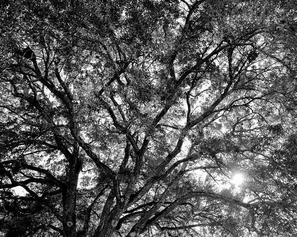Oaks Poster featuring the photograph Oak's Web by Matthew Bush