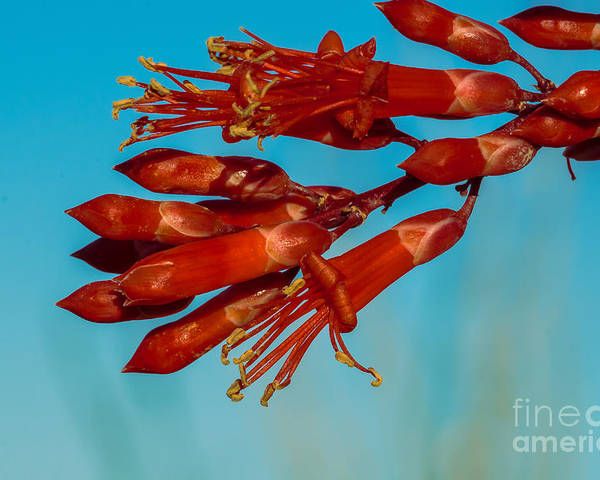 Arizona Poster featuring the photograph Ocotillo Flowers by Robert Bales