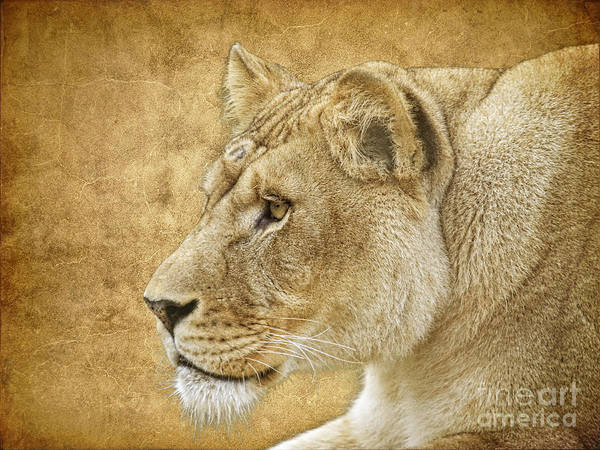 Lion Poster featuring the photograph On Target by Steve McKinzie