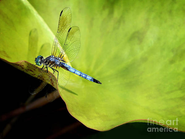 Dragonfly Poster featuring the photograph On The Edge by Claudia Kuhn