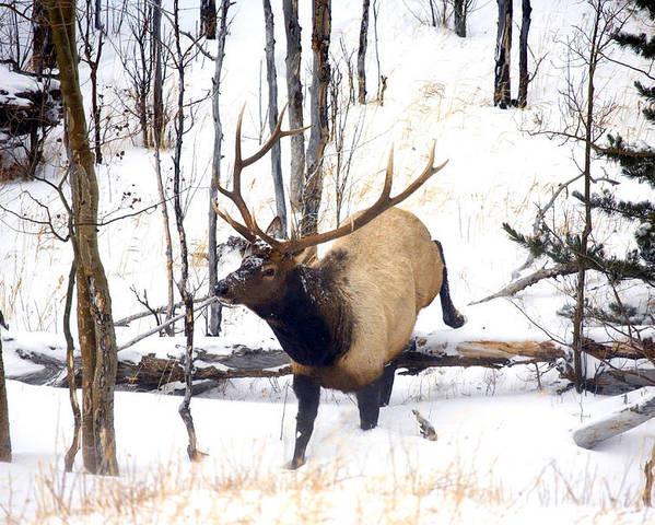 Elk Poster featuring the photograph On the Move by Mike Dawson