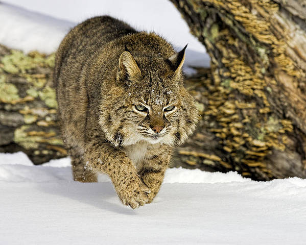 Bobcat Poster featuring the photograph On The Prowl by Jack Milchanowski