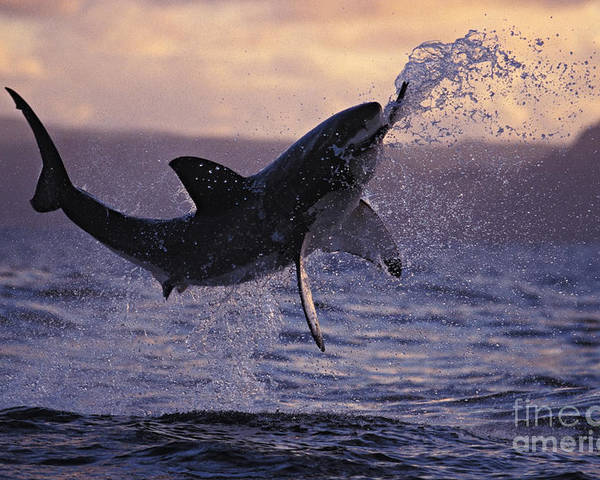 Brandon Cole Poster featuring the photograph One Great White Shark Jumping Out Of Ocean In An Attack At Dusk by Brandon Cole