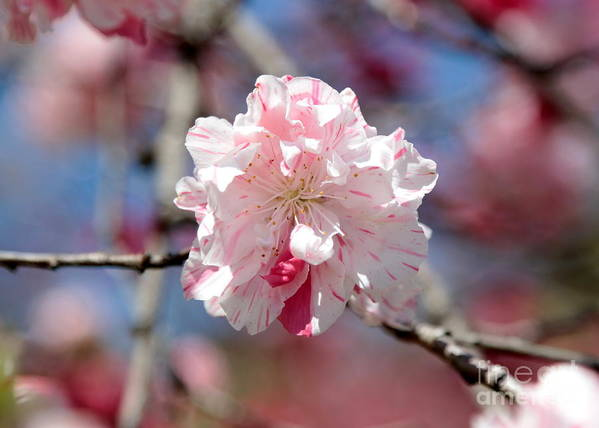 Spring Poster featuring the photograph One Pink Blossom by Carol Groenen