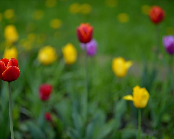 Tulips Poster featuring the photograph Only inspite of the others by Patrick Pestre