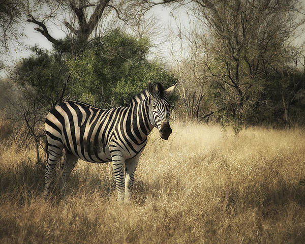 Zebra Poster featuring the photograph Only One by Kim Andelkovic