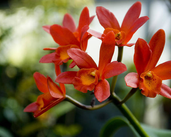 Orchid Poster featuring the photograph Orange Orchids by Breanna Calkins
