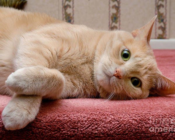 Alert Poster featuring the photograph Orange Tabby Cat Lying Down by Amy Cicconi
