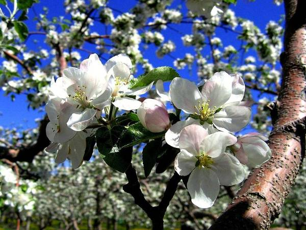 Apple Blossoms Poster featuring the photograph Orchard Ovation by Will Borden