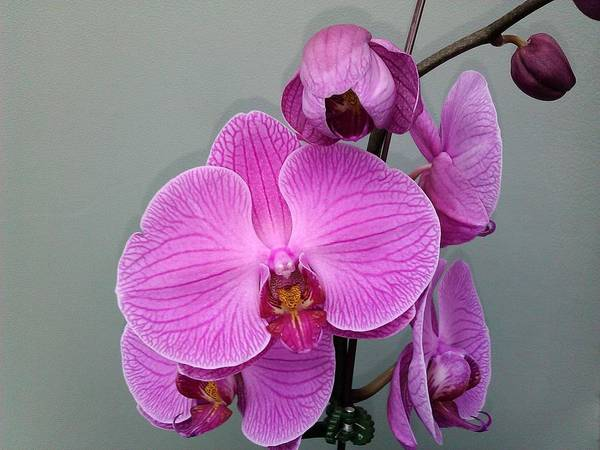 Floral Poster featuring the photograph Orchid Beauty by Jo-Ann Hayden