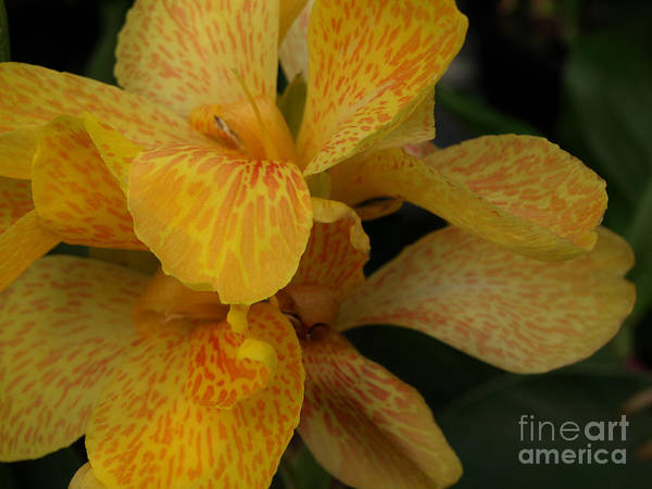Yellow Poster featuring the photograph Canna Lily by Jacklyn Duryea Fraizer