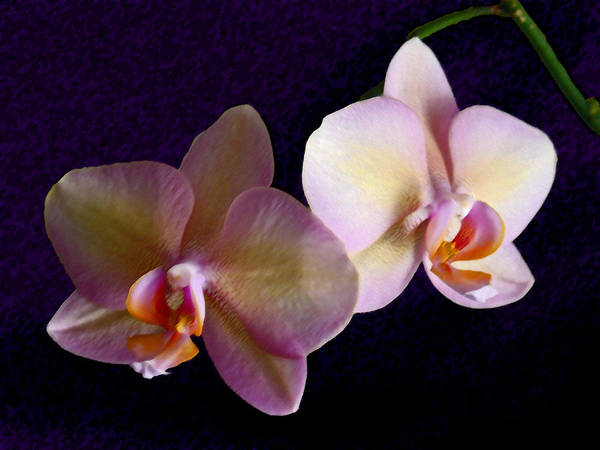 Orchid Poster featuring the photograph Orchid Light by Steve Karol