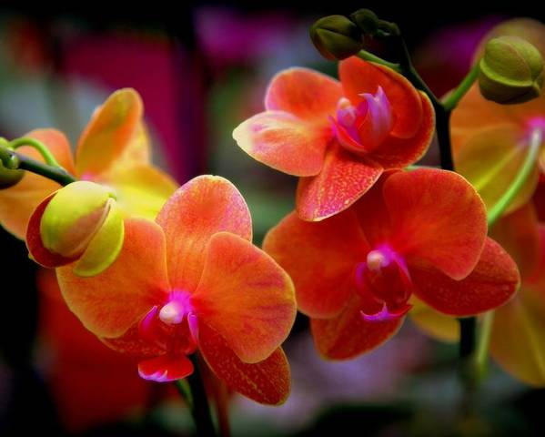 Orchids Poster featuring the photograph Orchid Melody by Karen Wiles