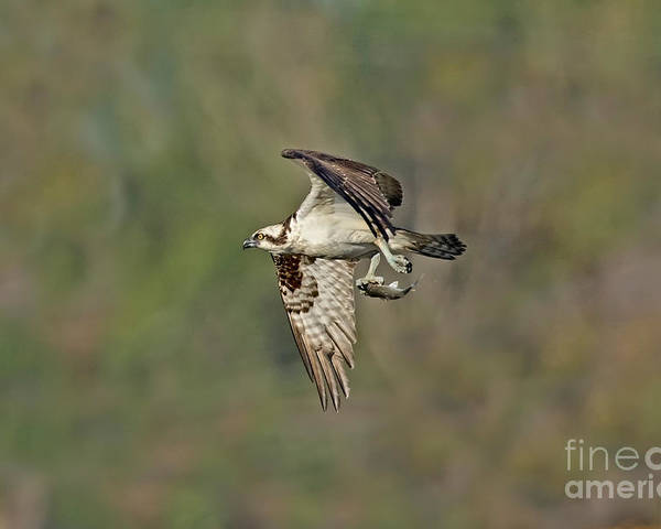 Animal Poster featuring the photograph Osprey Carrying Small Fish by Anthony Mercieca