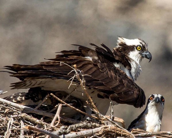 Osprey Poster featuring the photograph Osprey Family Huddle by John Daly