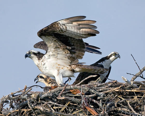Osprey Poster featuring the photograph Osprey Family by Larry Gambon