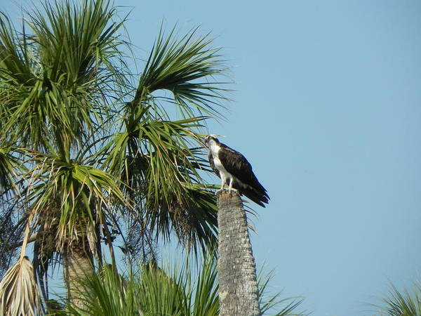 Bird Poster featuring the photograph Osprey Heaven by Cynthia N Couch