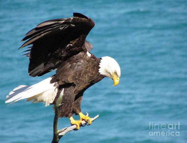 A Bird Of Prey Found In North America Poster featuring the photograph Our Finest American Bald Eagle by Mitch Spillane