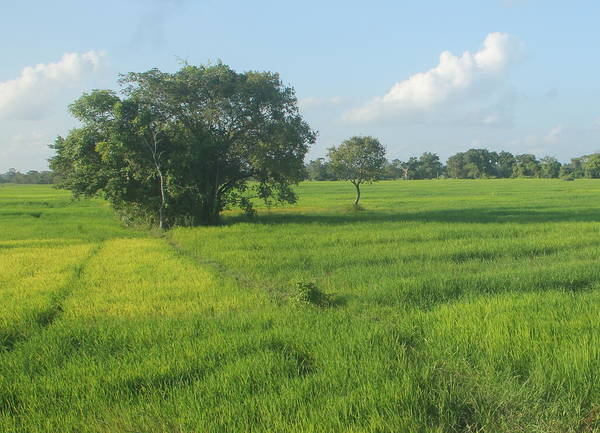Green Paddy Fields Poster featuring the photograph Paddy Fields 2 by Andrew Wijesuriya