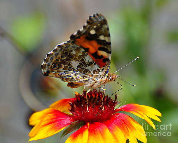 Butterfly Poster featuring the photograph Painted Lady by Todd Hostetter