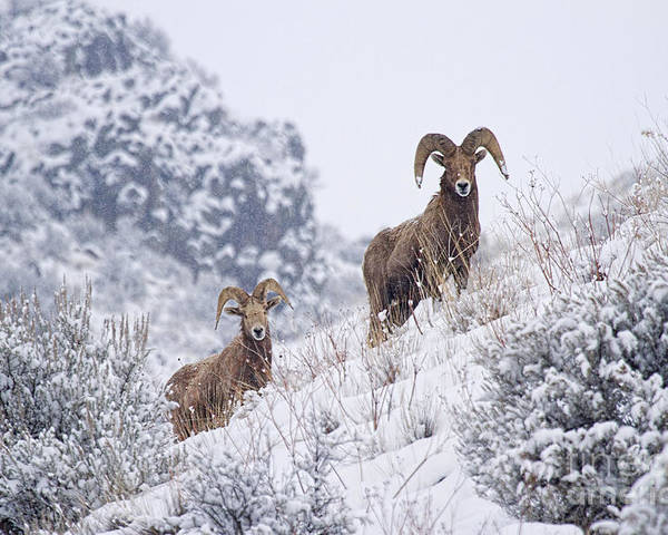 Ram Poster featuring the photograph Pair Of Winter Rams by Mike Dawson