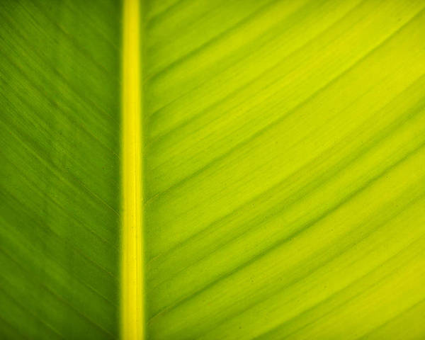 3scape Photos Poster featuring the photograph Palm Leaf Macro Abstract by Adam Romanowicz