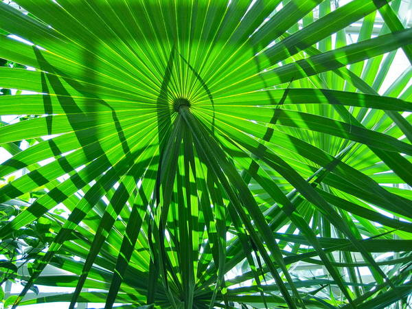 Palm Poster featuring the photograph Palm Shadows by Carol Rauss