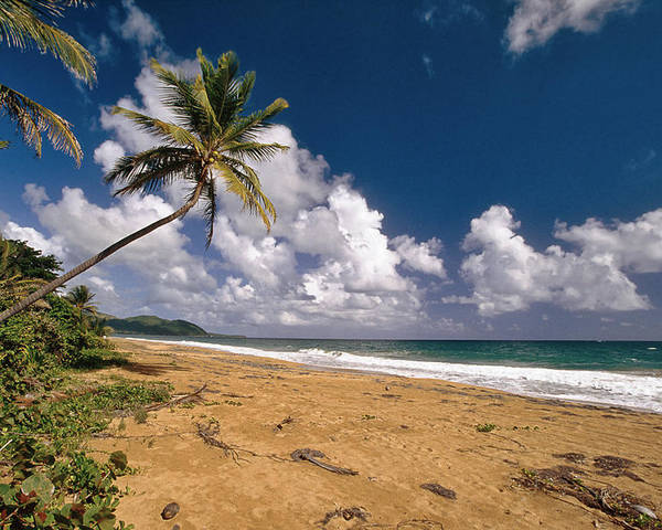 Beach Poster featuring the photograph Palm Tree On Maunabo Beach Puerto Rico by George Oze