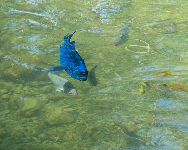 Animals Poster featuring the photograph Parrotfish On A Swim by John M Bailey