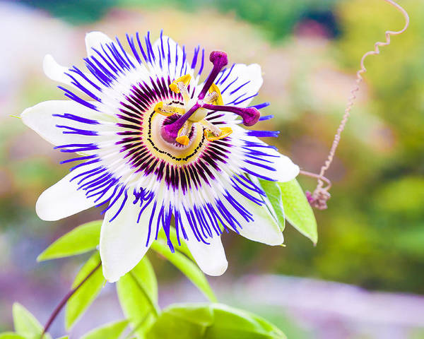 Green Poster featuring the photograph Passiflora Or Passion Flower by Semmick Photo