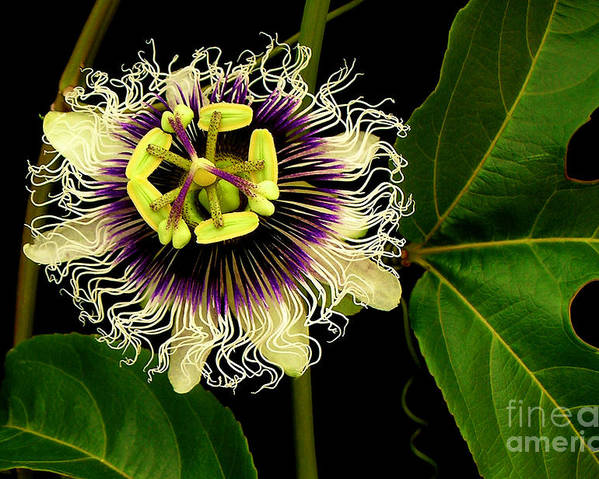 Hawaii Iphone Cases Poster featuring the photograph Passion Flower by James Temple