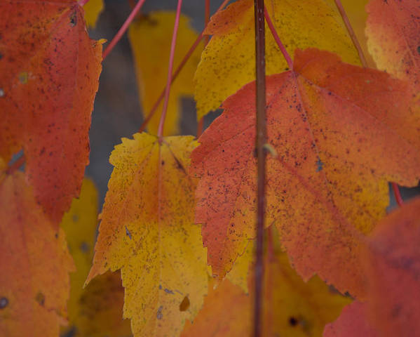Salem Poster featuring the photograph Pastel Colors Of Autumn by Jeff Folger