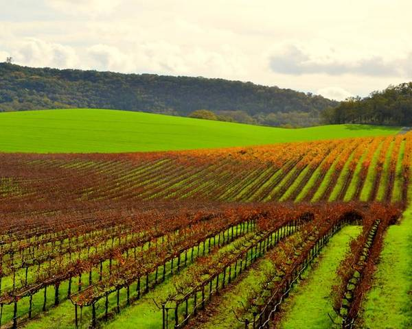 Vineyard Poster featuring the photograph Pastoral Vineyards Of Asti by Antonia Citrino