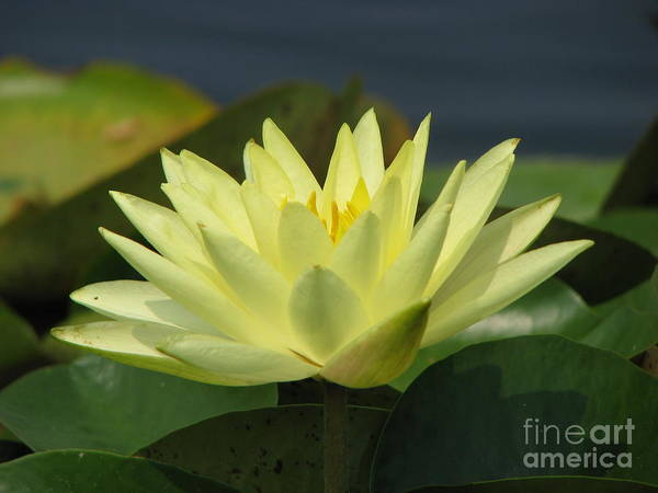 Lillies Poster featuring the photograph Peace by Amanda Barcon