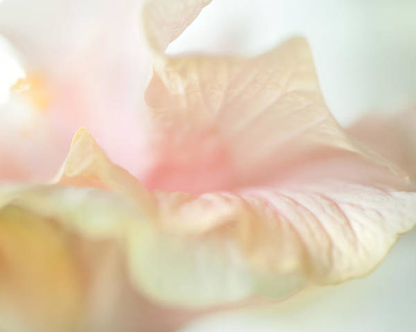Hibiscus Poster featuring the photograph Peach Delicacy. Hibiscus Macro by Jenny Rainbow
