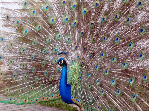 Peacock Poster featuring the photograph Peacock by Leigh Odom