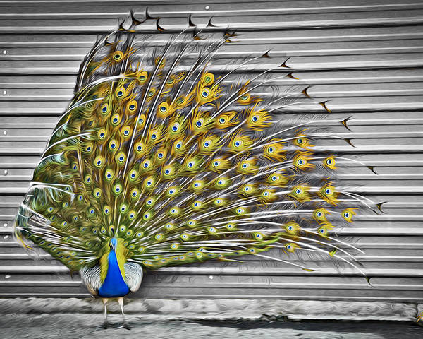 Peacock Poster featuring the photograph Peacock by Williams-Cairns Photography LLC