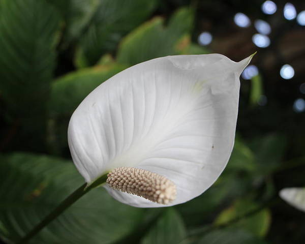 Peace Lily Poster featuring the photograph Peacy Lily by Dorothy Hilde