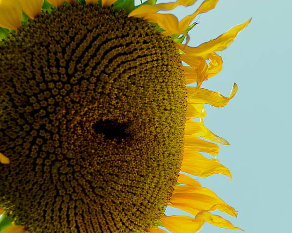 Sunflower Poster featuring the photograph Peak A Boo Sunflower by Gregory Merlin Brown