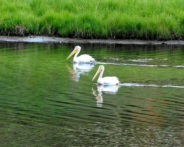 Colorado Poster featuring the photograph Pelican Reflections by Marilyn Burton