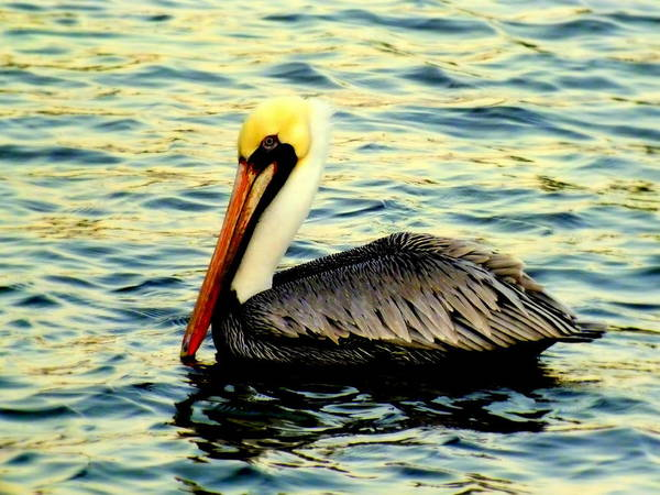 Pelicans Poster featuring the photograph Pelican Waters by Karen Wiles
